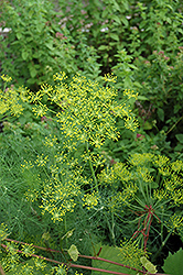 Dill (Anethum graveolens) at Platt Hill Nursery