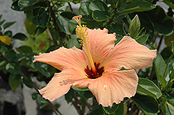 Peach Hibiscus (Hibiscus rosa-sinensis 'Peach') at Platt Hill Nursery