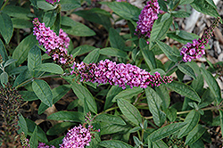 Lo And Behold® Pink Micro Chip Dwarf Butterfly Bush (Buddleia 'Lo And Behold Pink Micro Chip') at Platt Hill Nursery