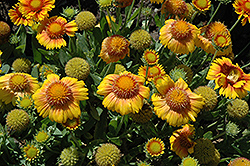 Arizona Apricot Blanket Flower (Gaillardia x grandiflora 'Arizona Apricot') at Platt Hill Nursery
