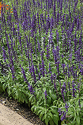 Victoria Blue Salvia (Salvia farinacea 'Victoria Blue') at Platt Hill Nursery