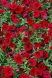 Easy Wave Red Velour Petunia (Petunia 'Easy Wave Red Velour') at Platt Hill Nursery