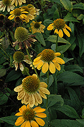 Sombrero® Lemon Yellow Coneflower (Echinacea 'Balsomemy') at Platt Hill Nursery