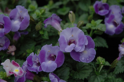 Blue Moon Torenia (Torenia 'Blue Moon') at Platt Hill Nursery