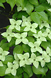 Milky Way Chinese Dogwood (Cornus kousa 'Milky Way') at Platt Hill Nursery
