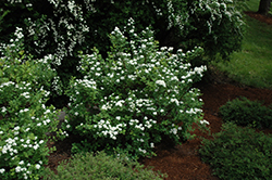 Tor Spirea (Spiraea betulifolia 'Tor') at Platt Hill Nursery