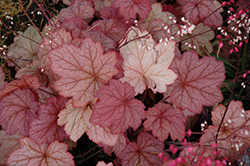 Georgia Peach Coral Bells (Heuchera 'Georgia Peach') at Platt Hill Nursery