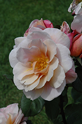 Distant Drums Rose (Rosa 'Distant Drums') at Platt Hill Nursery