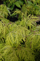 Lemony Lace® Elder (Sambucus racemosa 'SMNSRD4') at Platt Hill Nursery