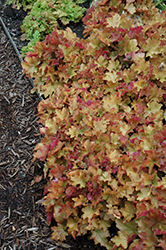 Caramel Coral Bells (Heuchera 'Caramel') at Platt Hill Nursery