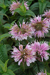 Cotton Candy Beebalm (Monarda 'Cotton Candy') at Platt Hill Nursery