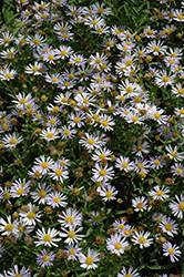 Blue Star Japanese Aster (Kalimeris incisa 'Blue Star') at Platt Hill Nursery