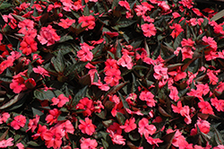 SunPatiens® Compact Deep Rose New Guinea Impatiens (Impatiens 'SunPatiens Compact Deep Rose') at Platt Hill Nursery
