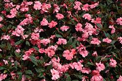 SunPatiens® Compact Coral Pink New Guinea Impatiens (Impatiens 'SunPatiens Compact Coral Pink') at Platt Hill Nursery