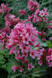 Sonic Bloom® Pink Reblooming Weigela (Weigela florida 'Bokrasopin') at Platt Hill Nursery