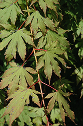 North Wind Japanese Maple (Acer 'IsINW') at Platt Hill Nursery