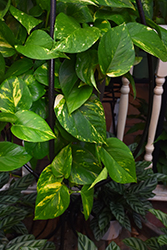 Golden Pothos (Epipremnum aureum) at Platt Hill Nursery
