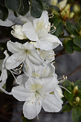 Delaware Valley White Azalea (Rhododendron 'Delaware Valley White') at Platt Hill Nursery