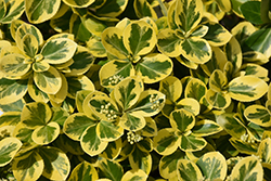 Gold Splash® Wintercreeper (Euonymus fortunei 'Roemertwo') at Platt Hill Nursery