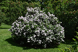 Miss Kim Lilac (Syringa patula 'Miss Kim') at Platt Hill Nursery