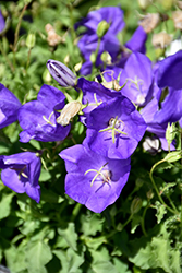 Pearl Deep Blue Bellflower (Campanula carpatica 'Pearl Deep Blue') at Platt Hill Nursery