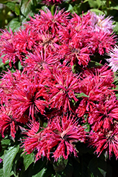 Cherry Pops Beebalm (Monarda 'Cherry Pops') at Platt Hill Nursery