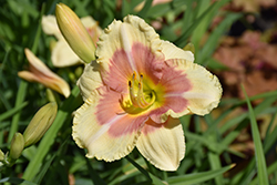 Happy Ever Appster® When My Sweetheart Returns Daylily (Hemerocallis 'When My Sweetheart Returns') at Platt Hill Nursery