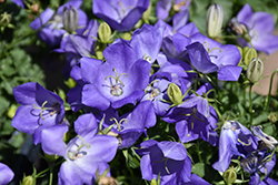 Rapido Blue Bellflower (Campanula carpatica 'Rapido Blue') at Platt Hill Nursery