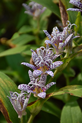 Toad Lily (Tricyrtis hirta) at Platt Hill Nursery