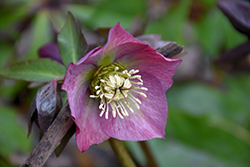 Red Lady Hellebore (Helleborus 'Red Lady') at Platt Hill Nursery