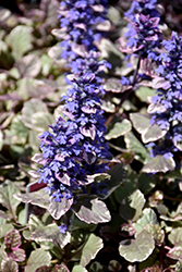 Burgundy Glow Bugleweed (Ajuga reptans 'Burgundy Glow') at Platt Hill Nursery