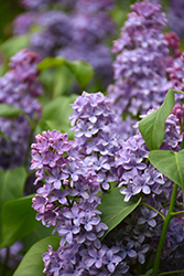 President Lincoln Lilac (Syringa vulgaris 'President Lincoln') at Platt Hill Nursery
