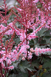 Delft Lace Astilbe (Astilbe 'Delft Lace') at Platt Hill Nursery