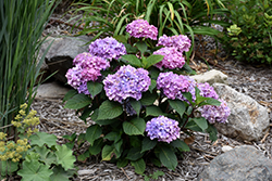 Bloomstruck® Hydrangea (Hydrangea macrophylla 'PIIHM-II') at Platt Hill Nursery