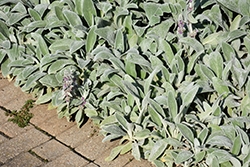 Lamb's Ears (Stachys byzantina) at Platt Hill Nursery