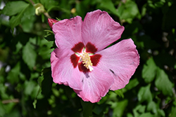 Aphrodite Rose of Sharon (Hibiscus syriacus 'Aphrodite') at Platt Hill Nursery