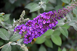 Miss Violet Butterfly Bush (Buddleia 'Miss Violet') at Platt Hill Nursery