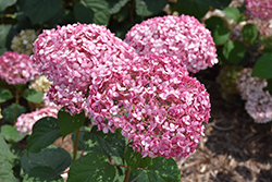 Invincibelle® Spirit II Smooth Hydrangea (Hydrangea arborescens 'NCHA2') at Platt Hill Nursery