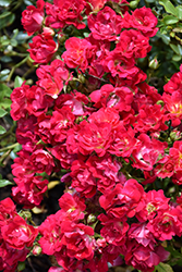 Red Drift® Rose (Rosa 'Meigalpio') at Platt Hill Nursery