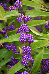 Issai Beautyberry (Callicarpa dichotoma 'Issai') at Platt Hill Nursery
