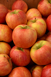 Honeycrisp Apple (Malus 'Honeycrisp') at Platt Hill Nursery