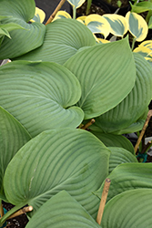 Empress Wu Hosta (Hosta 'Empress Wu') at Platt Hill Nursery