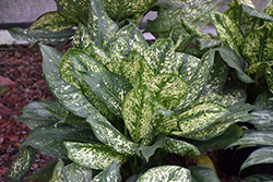 Lumina Chinese Evergreen (Aglaonema 'Lumina') at Platt Hill Nursery