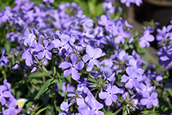 Blue Moon Phlox (Phlox divaricata 'Blue Moon') at Platt Hill Nursery