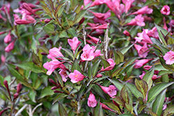 Fine Wine® Weigela (Weigela florida 'Bramwell') at Platt Hill Nursery