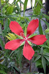 Scarlet Rose Mallow (Hibiscus coccineus) at Platt Hill Nursery