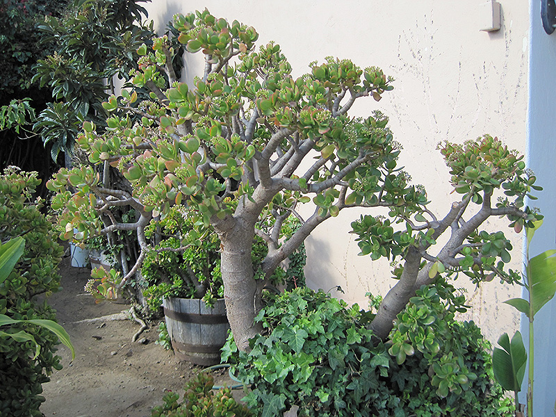 Jade Plant (Crassula ovata) at Platt Hill Nursery