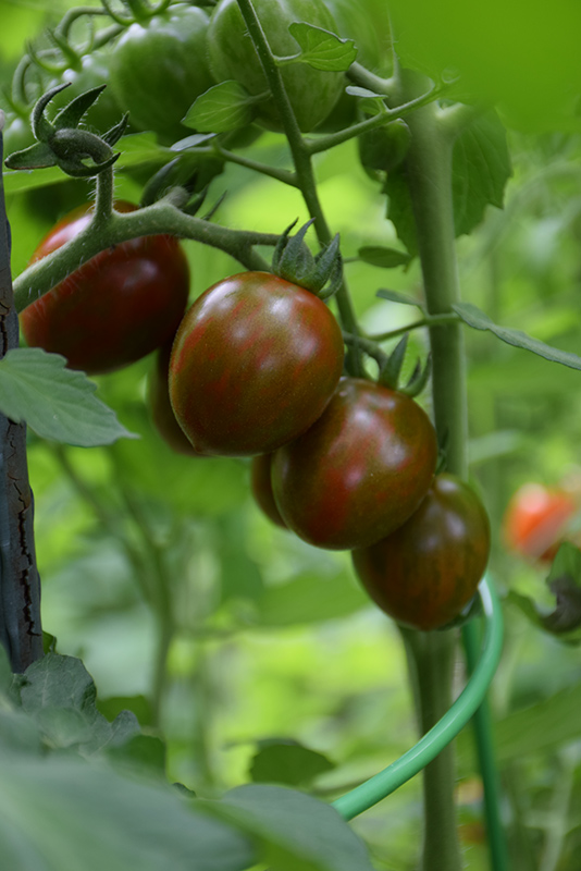Chocolate Cherry Tomato (Solanum lycopersicum 'Chocolate Cherry') at Platt Hill Nursery