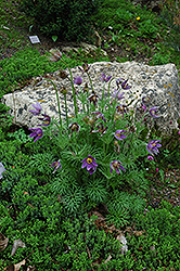 Pasqueflower (Pulsatilla vulgaris) at Platt Hill Nursery