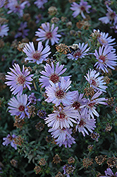 Woods Blue Aster (Aster 'Woods Blue') at Platt Hill Nursery
